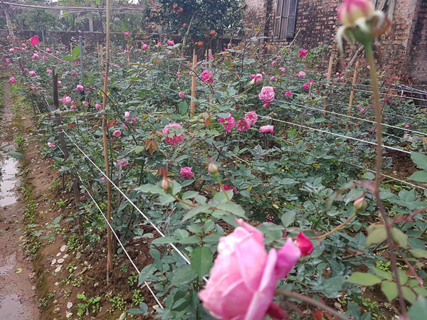 Lúc đầu, bố mẹ phản đối khi Hiên đòi phá vườn để trồng hồng. Thương con, lại xót cả trăm gốc hồng bị xếp xó vì không có chỗ trồng, bố mẹ cô đành chiều theo ý con.